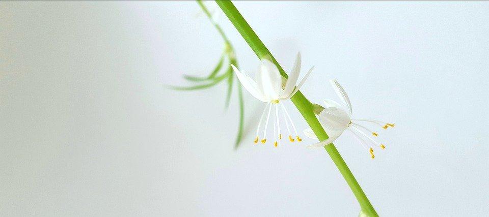 clorófitos