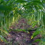 Fertilização da cultura do milho: tudo o que deve saber