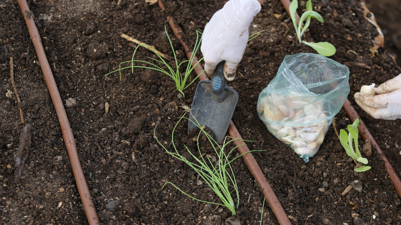 como plantar alhos