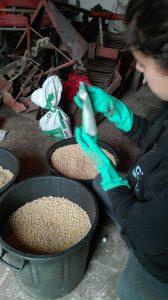 produção de soja em portugal- inoculação das sementes de soja