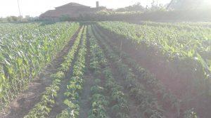 produção de soja em portugal-consociação milho e soja