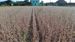 produção de soja em portugal- espaçamento entre-linha 0,35 m