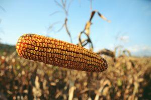 Rotação de culturas agrícolas agricultura