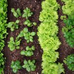 Saiba tudo sobre o tema das  consociações de culturas para a sua horta