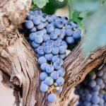 Doenças na vinha: escoriose da videira