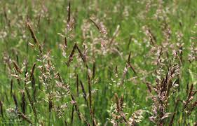 erva-lanar-planta infestante dos relvados