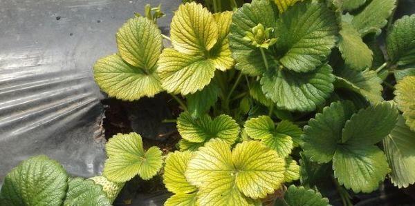 proteger as plantas-folhas amarelas