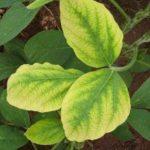Deficiência de nutrientes nas plantas: sabe quais são os principais sintomas?