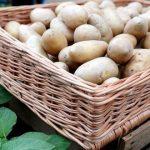 Encharcamento no início do ciclo levam a queda de produção de 10% na batata