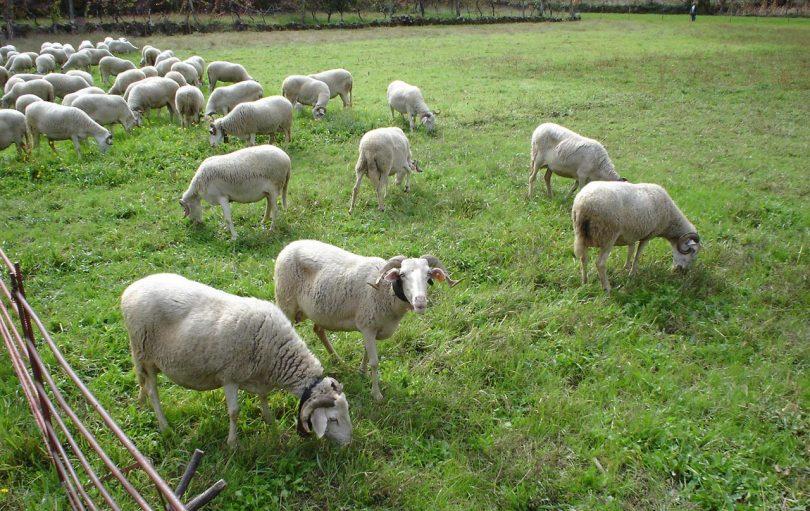 raças autoctones portuguesas de ovinos