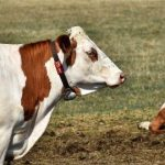 Agricultores dos Açores vão poder abater e enterrar animais nas suas explorações