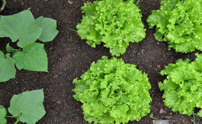 como preparar o solo para plantar hortaliças