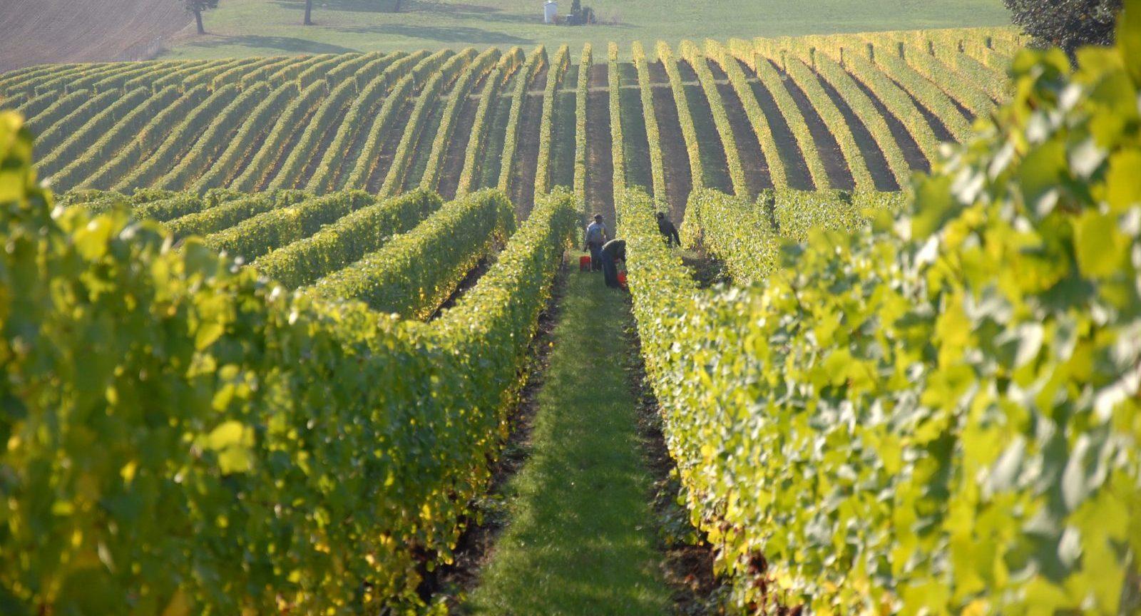 doenças na vinha:escoriose