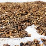 Insetos – a alternativa proteica na alimentação das aves!
