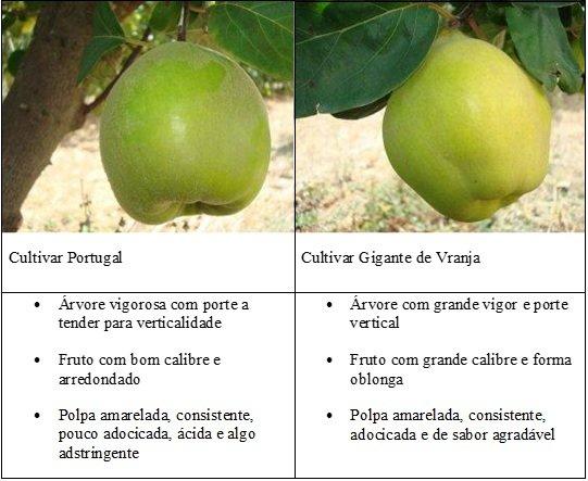 Diferença morfológica entre as duas cultivares de marmeleiro mais comuns em Portugal