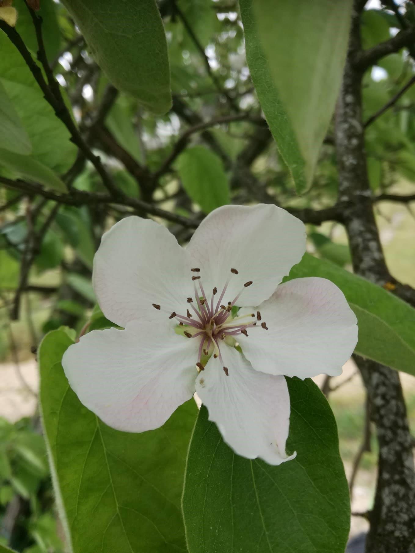 Flor do marmeleiro