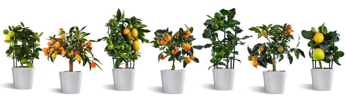 Variedades de plantas cítricas em miniatura disponíveis para venda