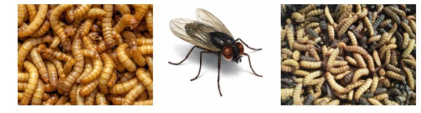 insectos na alimentação animal