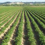 Clima, preços, especulação e menos quantidades marcam campanha da batata semente