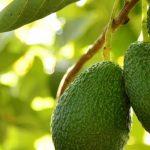 Difusão do abacate traz grande cooperativa espanhola para o Algarve