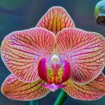 Tudo o que deve saber sobre os cuidados com as  orquídeas Phalaenopsis