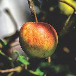 Problemas fitossanitários nas macieiras: como atuar