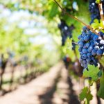 Doenças do lenho na vinha: como prevenir e recuperar plantas afectadas