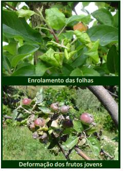 piolho na macieira