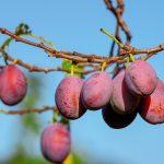 OFERTA DE EMPREGO: Supervisores de Equipa de colheita de fruta (m/f)