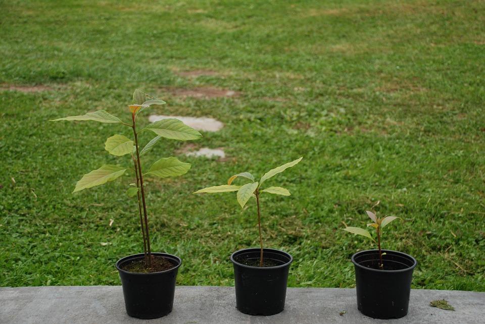 como plantar abacate em casa
