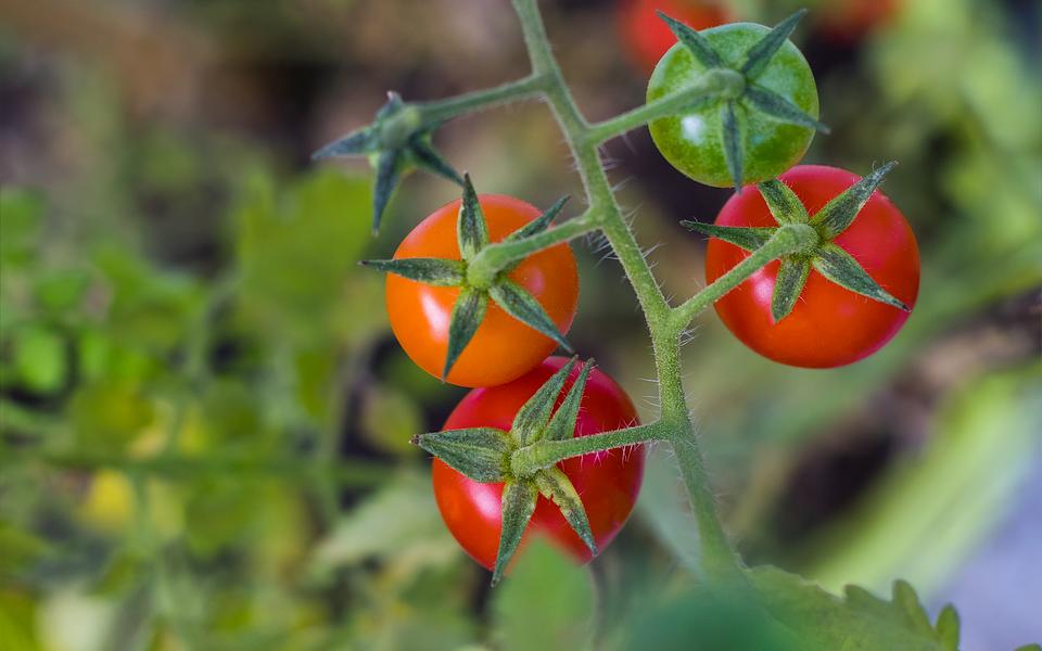 omo plantar tomate-cereja passo a passo