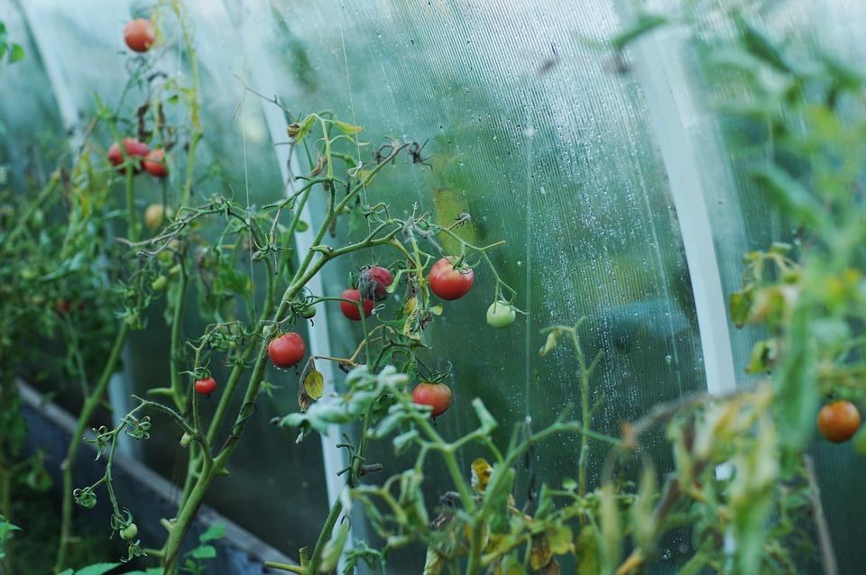 como plantar tomate-cereja em apartamento