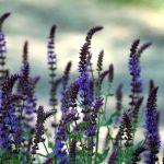 Sálvia: conheça a planta aromática amiga das mulheres