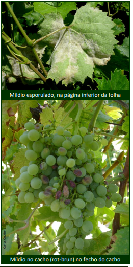 mildio na vinha