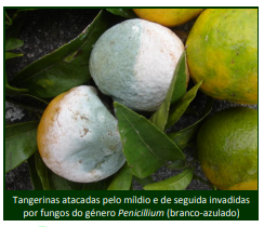 míldio citrinos