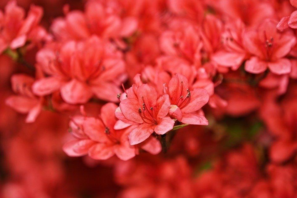 Azaléa, Rododendro, Arbusto, Flor, Florescente