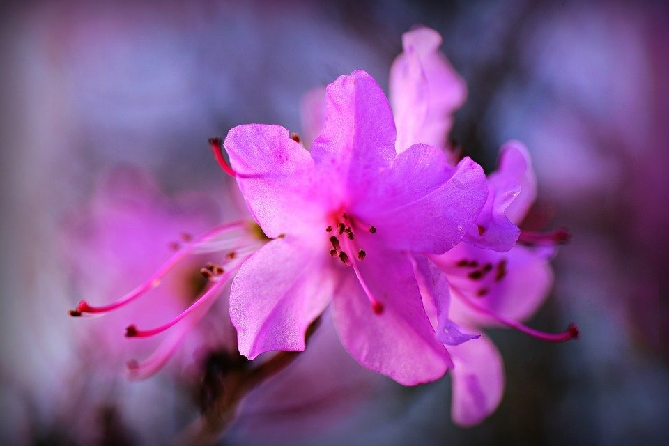 Azaléa, Flor, Arbusto, Pétala, Pistilo, Bloom