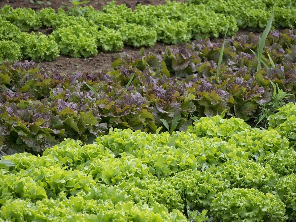 Legumes, Jardineiro, Horta, Salada