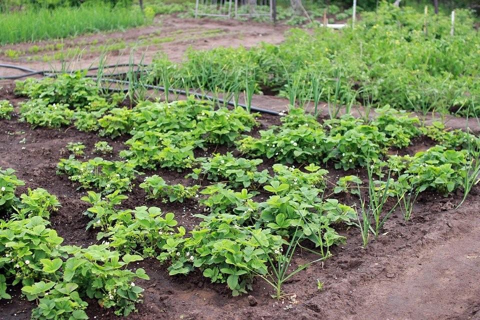 Dacha, Horta, Colheita, Verão, Planta, Berry, Comida