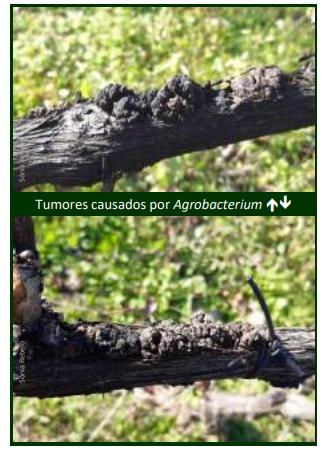 tumores na vinha