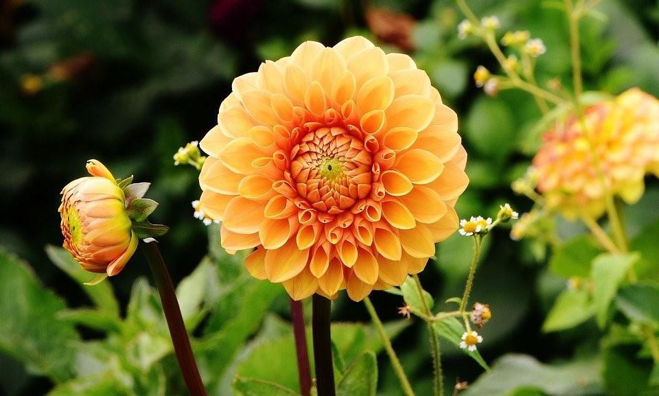 Dália, Dálias, Outono, Asteraceae, Flor Do Jardim
