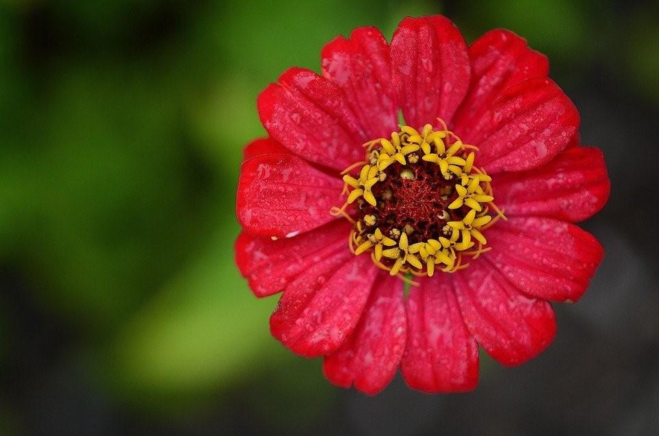 Zínia, Red, Flor, Folha, Natureza, Jardim, Macro