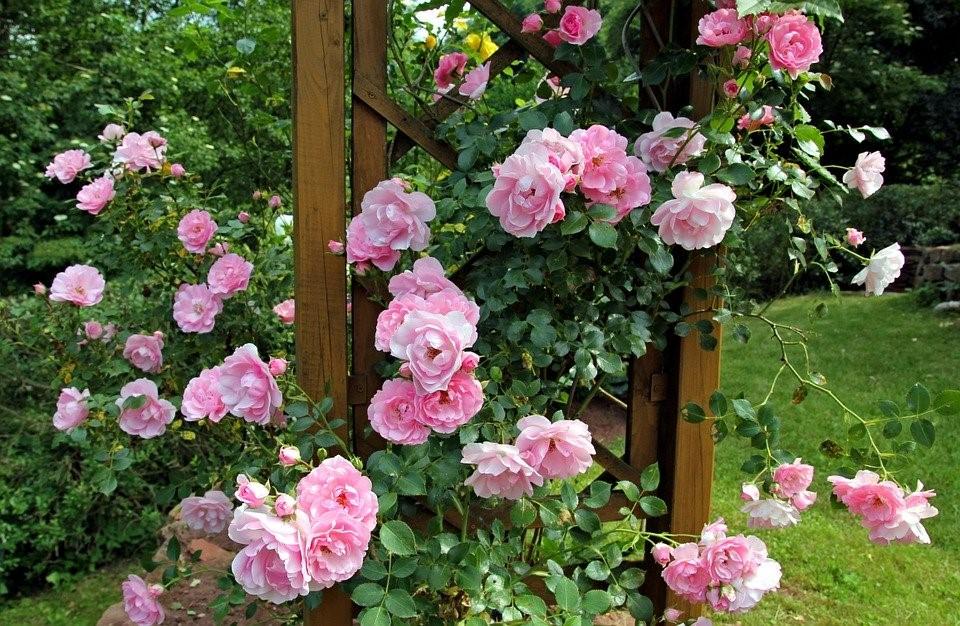 Rosa, Jardim, Gomos, Verão, Pavilhão, Flores, Roseira