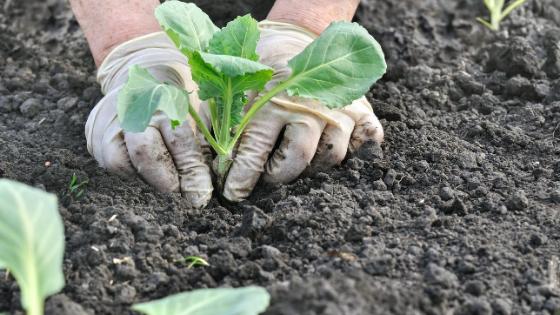como plantar couves em vaso