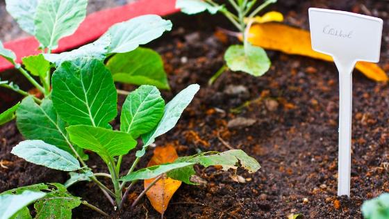 como plantar couves