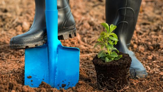 como plantar poejo