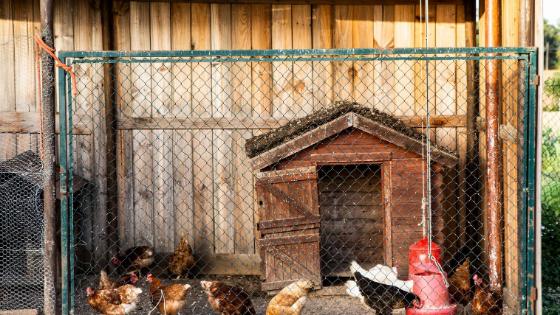 porque galinhas comem os ovos