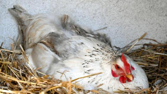 galinhas comem os ovos