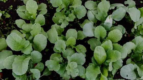 como cultivar rabanetes