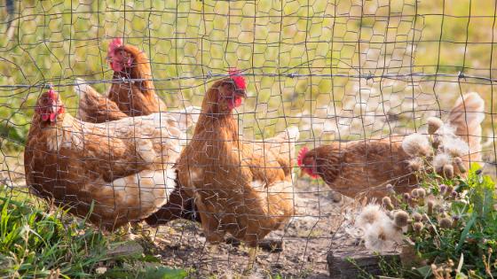 raças de galinhas poedeiras